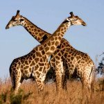 dikaya-priroda-afriki