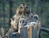 Гнездо неясыти (совы) с птенцами (online)