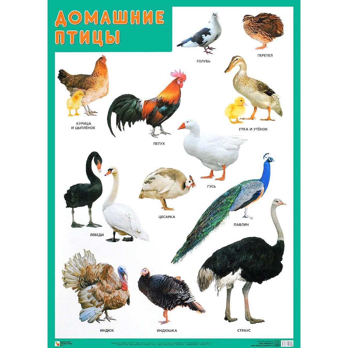 все домашние птицы названия и фото квартиру коммунаре
