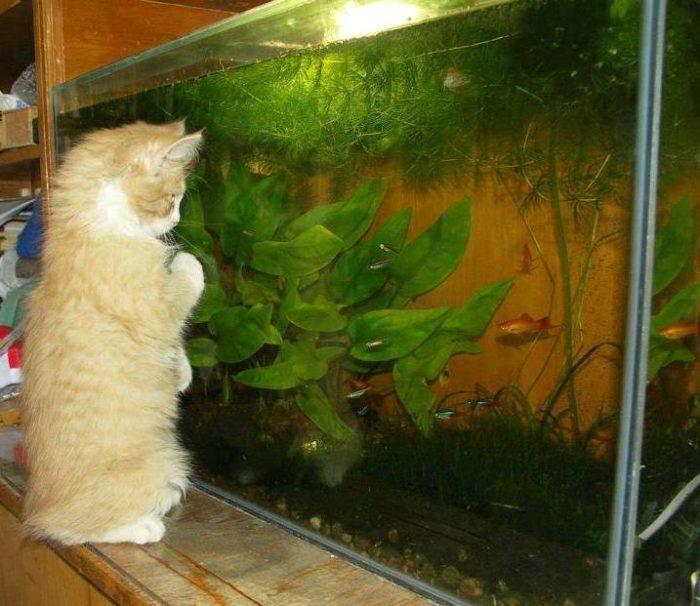 Кошка наблюдает за аквариумными рыбками