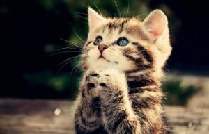 Полосатая кошка держит передние лапки в умоляющем жесте