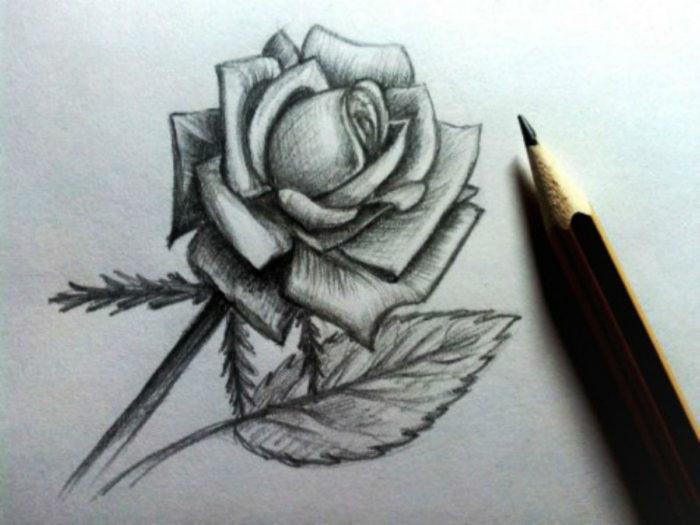 Роза в карандаше
